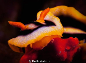 Chromodoris magnifica... by Beth Watson 